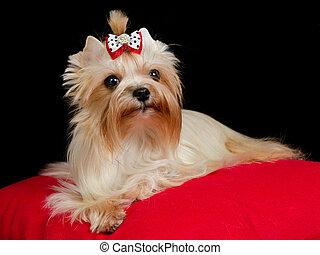 Golden Yorkshire Terrier