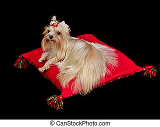 Royal dog lying on red cushion against black background