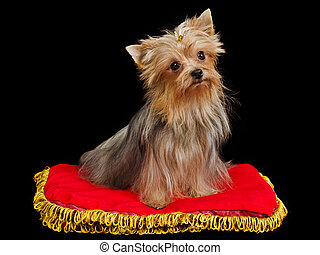 Royal dog on red cushion against black background