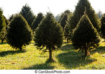 Fraser Fir christmas tree in farm - Christmas tree farm with...