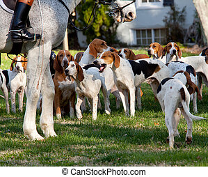 American Foxhounds before a hunt - Dogs of the Middleburg...