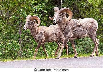Bighorn sheeps walking along the road in Alberta.