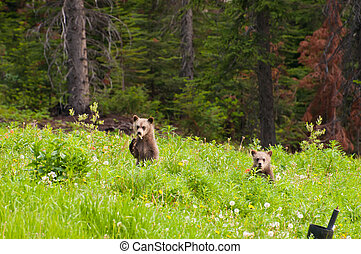 Baby grizzly bears standing and looking in curiosity