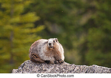 Hoary Marmot resting on rock at Banff National Park,...