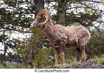 Side view of bighorn sheep shedding its fur in summer