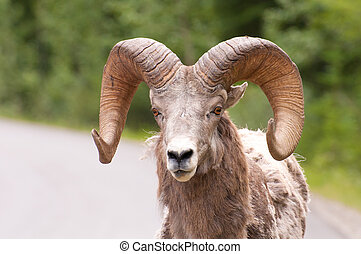 Portrait of bighorn sheep - Portrait shot of bighorn sheep...