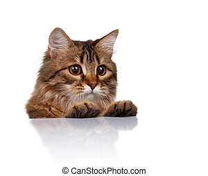 Cute cat_3143jpg - Cute young Siberian cat on white...