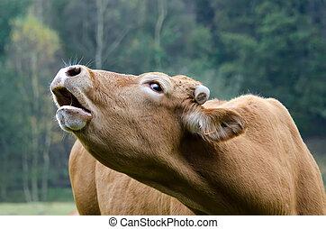 vaca, moos