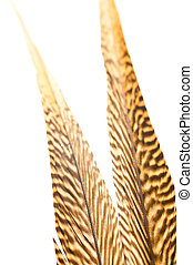 Golden pheasant tail feathers close up - Golden pheasant...