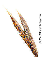 Golden pheasant tail feathers isolated over white background