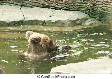 Bear swims in the water and eating grass Shooting at the Zoo