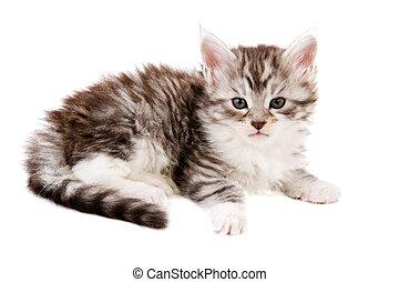 Maine Coon kitten - Cute maine Coon kitten isolated over...