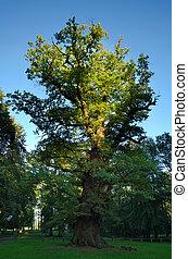 1000 year old oak tree at Ivenack, Mecklenburg-Vorpommern,...