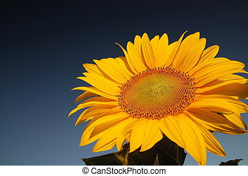 sunflower at sunny day