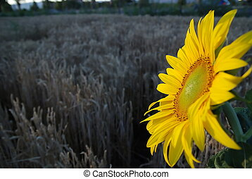 sunflower closeup with wheat in background
