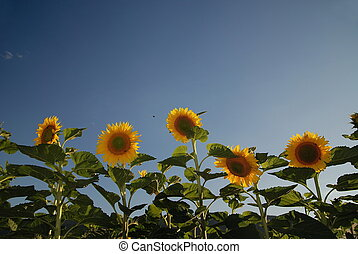 sunflower field - sunflowers field NIKON D80; 672007; 1200...