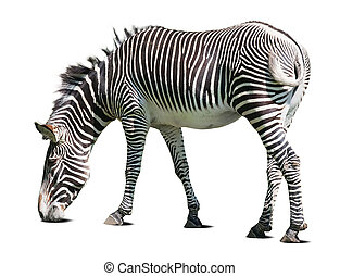 zebra over white background with shadows
