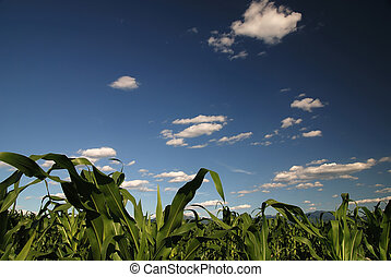 sunny day at field of corn and dramatic sky...