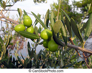 Green olives on an olive tree - View of green olives on an...