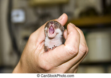 Least weasel baby (Mustela nivalis) in hand