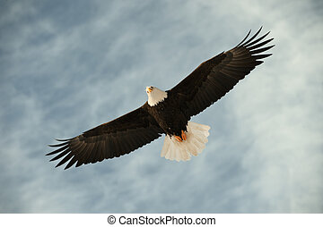 Bald eagle in flight awaiting fish feeding USA, Alaska,...