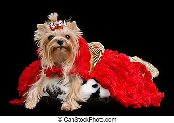 Yorkshire terrier with luxurious dress