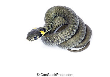 snake isolated on white background