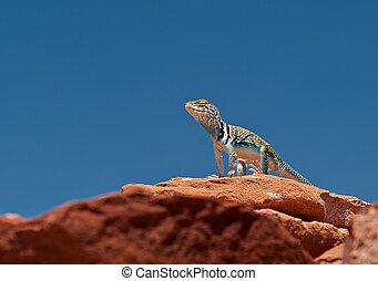 Collared Lizard - This collared lizard (Crotophytus...