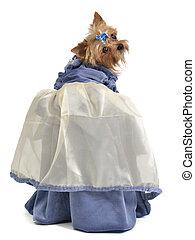 Cute dog with elegant dress