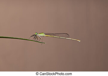 damsel fly - a green damselfly eating an isect for breakfast