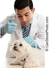 Vet medicating small dog needle - An expert veterinarian...
