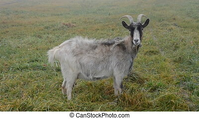 goat on the field grass