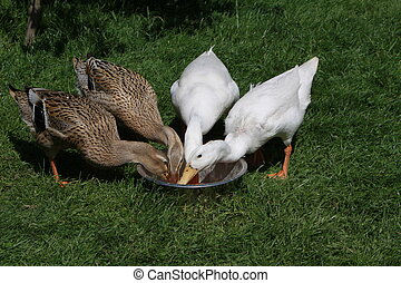 Four Indian runner ducks eat from a food bowl