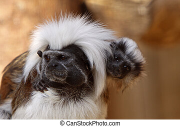 Cottontop tamarin with baby on her back