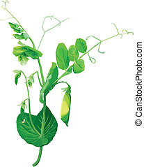 Green pea flowers - The barrel of the peas from the pods and...
