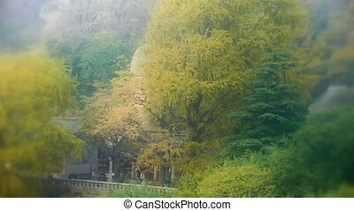 wind shaking Ginkgo tree,temple and bamboo,Mountains,hill.