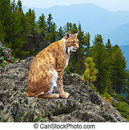 lynx in wildness area - lynx  sits against wildness area