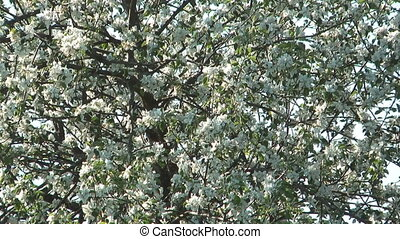Blossoming apple-tree. - Apple-tree covered with white...