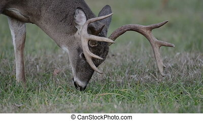Whitetail deer buck grazing