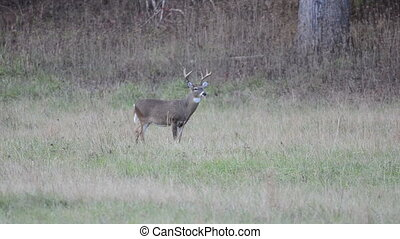 Whitetail buck standing in an open