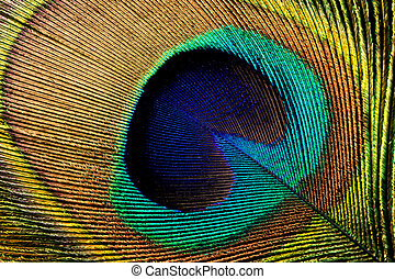 Peacock feather - Closeup of a colorful peacock feather with...