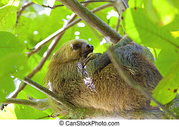 Three-toed Sloth - A Three-toed Sloth sleeping in the tree...