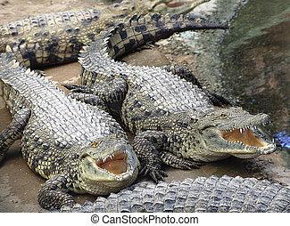 two hungry crocodile