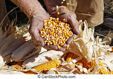 Corn and Farmers Hands - A farmer catches seed corn in his...
