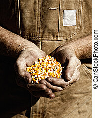 Corn and Farmer's Hands - A farmer holds seed corn in his...
