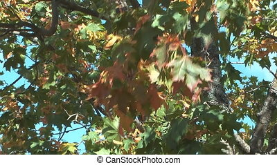 Maple tree. - Autumn maple leaves swaying in the wind.