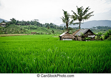 rice fields in Bali, Indonesia - typical terrace rice fields...