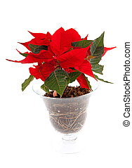 Red Poinsettia flower in glass pot over white background