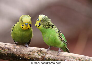 Two yellow-green budgies on a branch