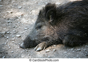 A tired boar, lying on the ground